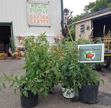 Tomato Plants- FREE DELIVERY WITH YOUR MULCH ORDER